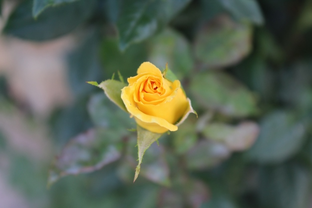 rosa amarilla 2015